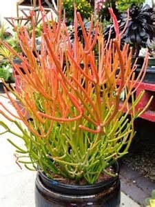 naked-lady-plant-1